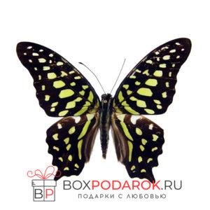 Бабочка Агамемнон