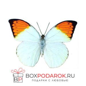 Бабочка Гебомоя
