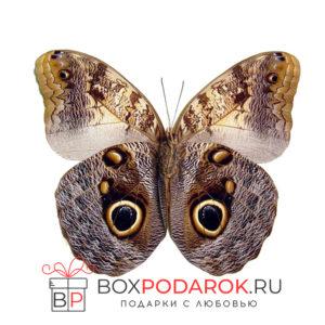 Бабочка Caligo
