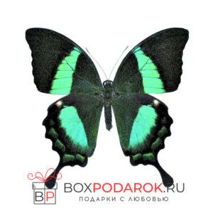 Бабочка Палинур