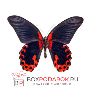Бабочка Румянцева